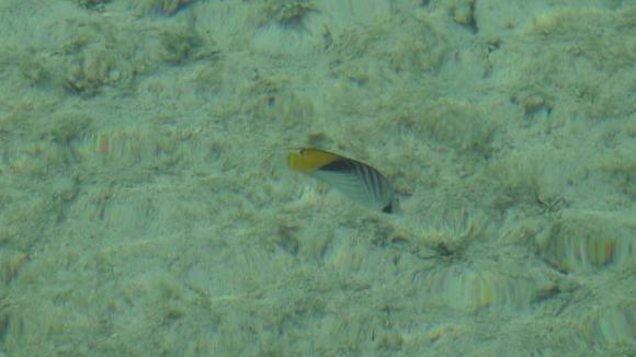 Info on the striped butterfly fish